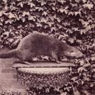 An otter killed in 1881
